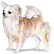 Long-Coat-chihuahua