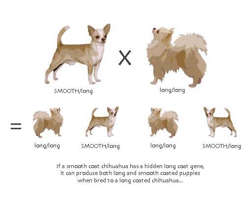 Chihuahua Coat Genetics